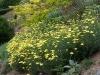 Anthemis tinctoria 'E. C. Buxton'