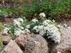 Aster ericoides f. prostatus 'Snow Flurry'