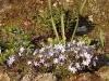 Phlox subulata 'Oakington Blue Eyes'