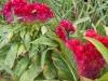 Amaranthus 'Crête de coq'