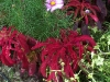 Amaranthus 'Early Splendor'