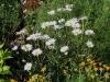 Chrysanthemum maximum 'Alaska'