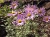 Arctanthemum arcticum 'Roseum'