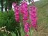 Gladiolus communis ssp. byzantinus