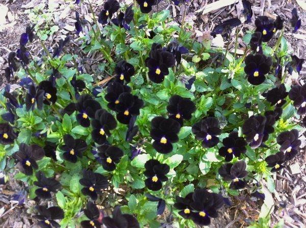 Viola tricolor 'Bowles' Black'