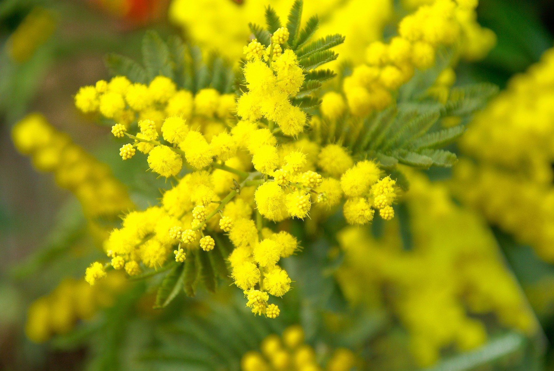 Acacia et Mimosa, attention aux confusions