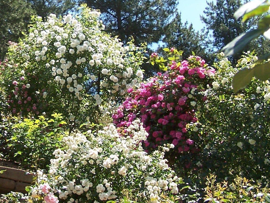 Dans la roseraie des Jardins du Gué