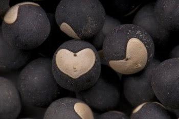 cardiospermum graines