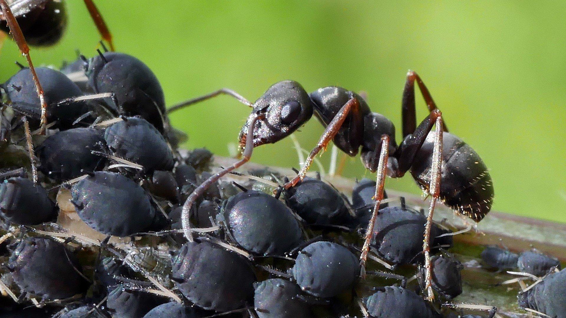 fourmi insecte puceron