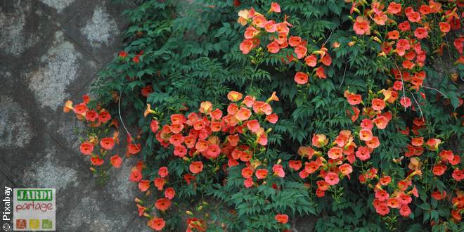 10 plantes grimpantes qui raffolent du