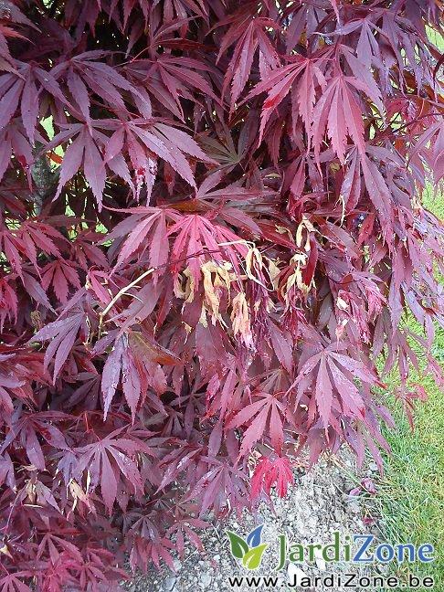 SOS Erables du Japon rouge  feuilles qui blanchissent   JardiZone