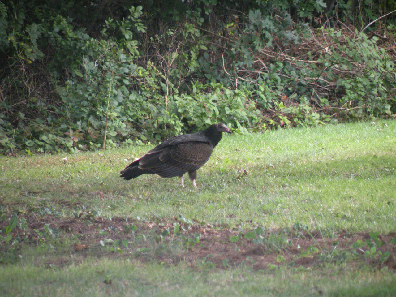turkey_vulture-09-16-2009-3