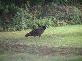 turkey_vulture-09-16-2009-3