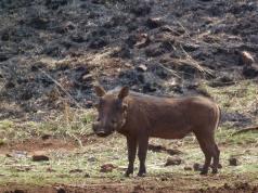 Warthogs are brilliant.