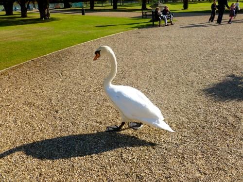 Swanpic4