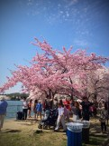 The Pinkest Of The Cherry Blossom Trees