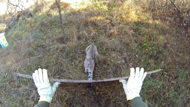 Bobcat Released from Trap Unharmed [VIDEO]