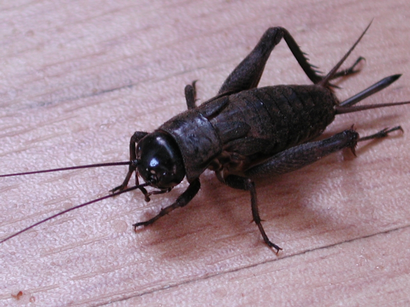 How a Cricket Can Tell you the Temperature