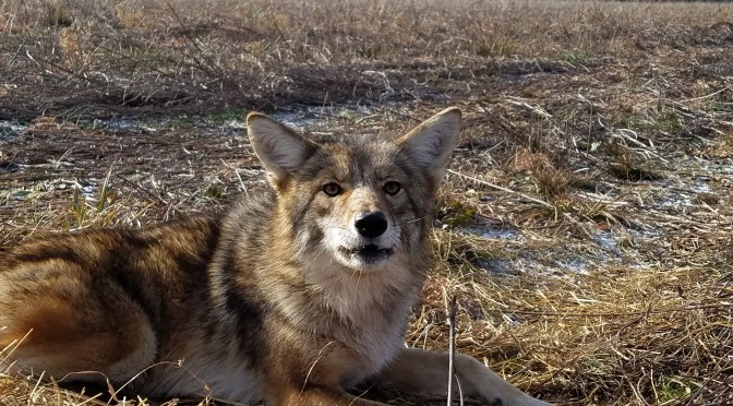 How to Remove a Coyote from a Trap Using a Catch Pole [Video]