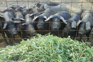 crna-slavonska-svinja-svinjogojstvo-midi