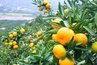 mandarine-neretvanske-urod-midi