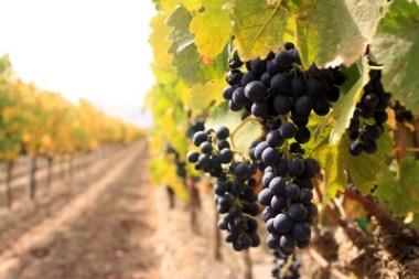 vinograd-midi
