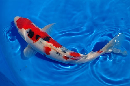 Animal Wallpaper Welcome To Javed Fisheries We Are Breeder Wholesale