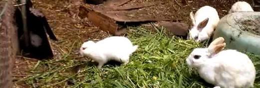 Conejo nacido con deformaciones por la radiación de Fukushima ¿verdadero o falso?