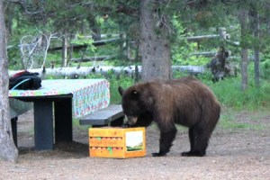 702838_web1_Female_Black_Bear_Campsite