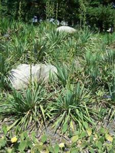 YuccaGlauca - Soapweed