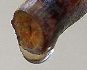 https://www.fassadengruen.de/en/grapevine-bleeding.htm