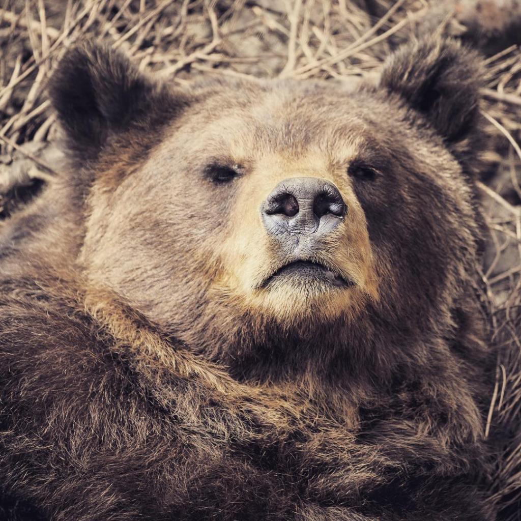 Before my morning coffee  grizzly bear alaska brownbear wildlife