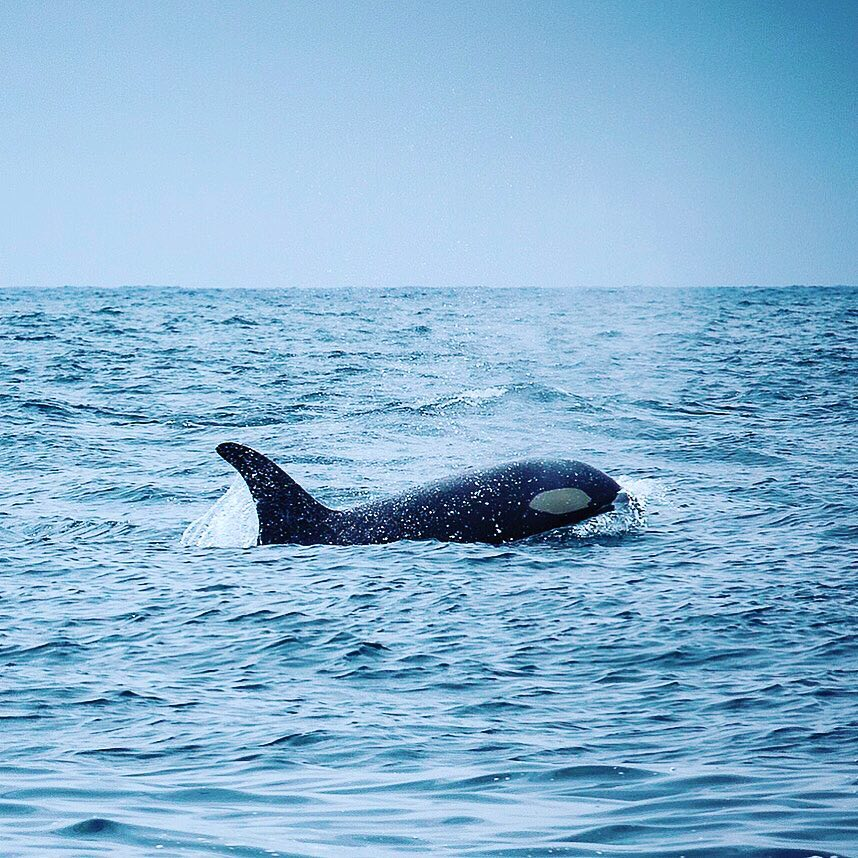 Orca on the Move  The sight of killer whaleshellip