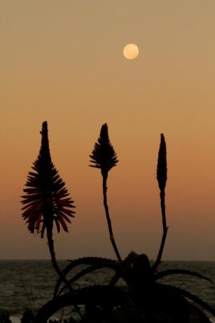 Moon rise and aloes