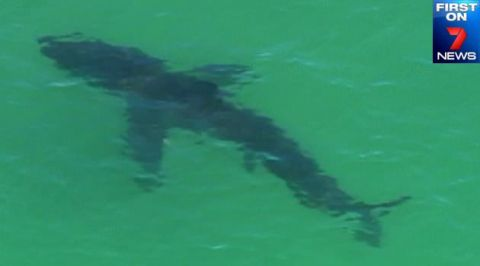 The shark spotted at Byron Bay after the attack. Photo: 7News
