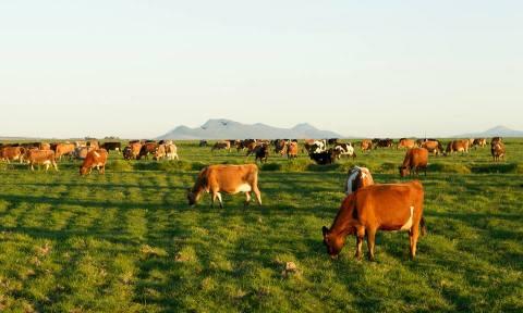 first choice cows