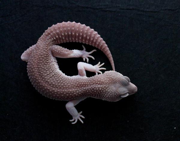Geckos Jb Leopard