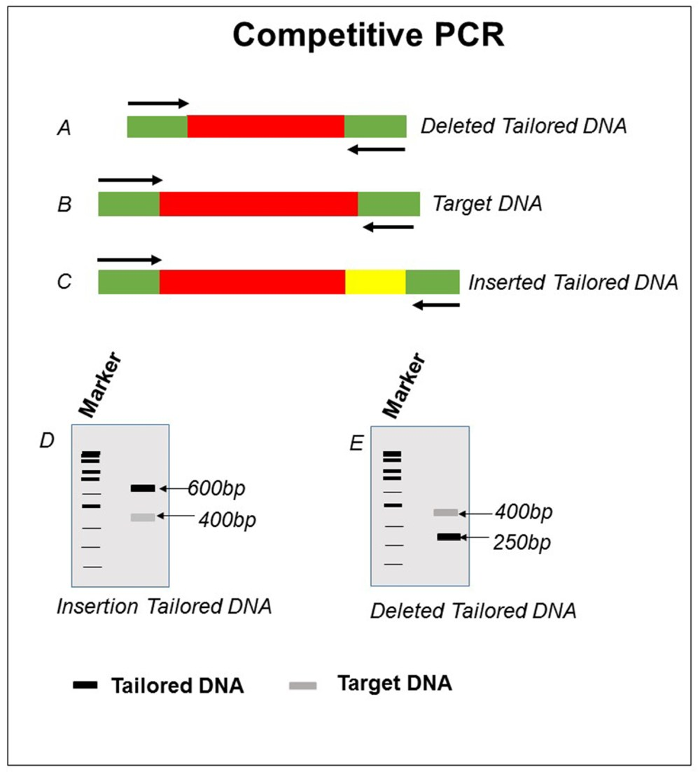 medium resolution of schematic representation of competitive pcr for target dna b with deleted and inserted tailored dna a and c respective results obtained is shown in