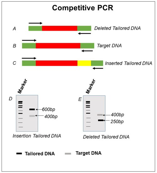 small resolution of schematic representation of competitive pcr for target dna b with deleted and inserted tailored dna a and c respective results obtained is shown in