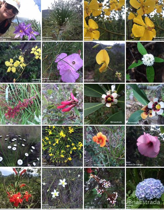 Brasil - Goias - Chapada dos Veadeiros - Flores do Cerrado