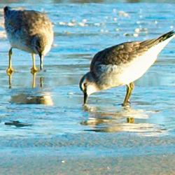 Waders feeding on the WaddenSea