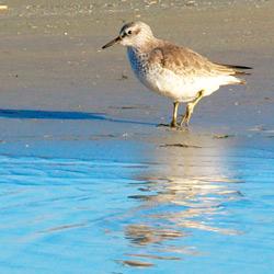 Redshank wading the beach