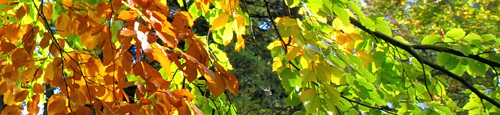 Detail-Beech-Autumn-Leaves
