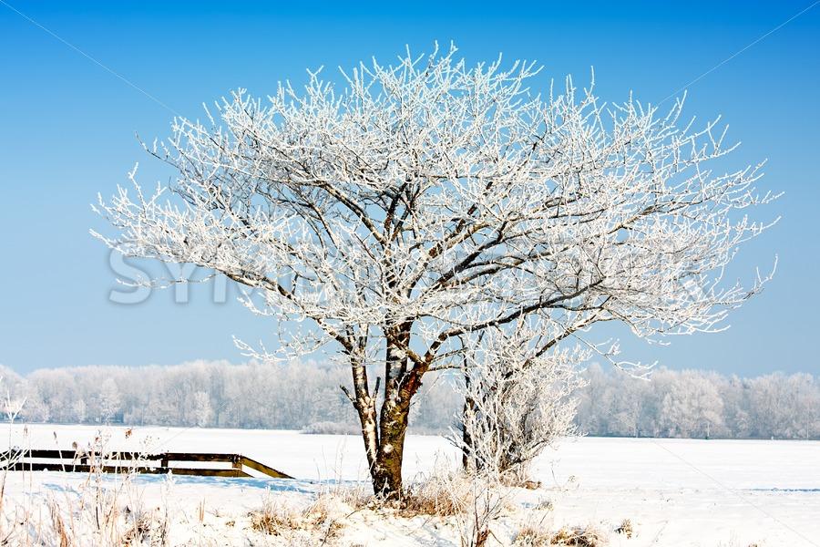 Frosty snowy white tree