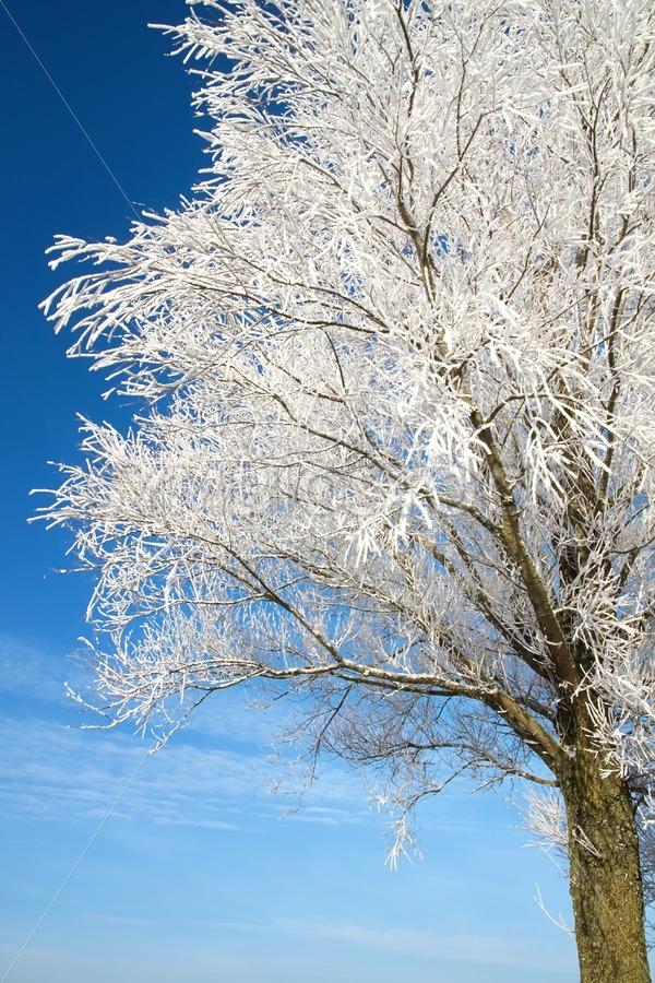 Tree covered with snow and frost. - Jan Brons Stock Images