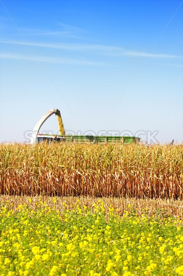 Harvesting maize - Jan Brons Stock Images