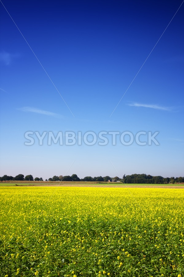 Mustard Seed Field with trees and a farm - Jan Brons Stock Images