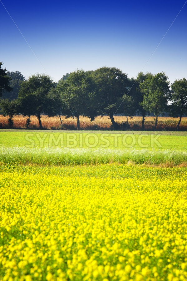 Mustard seed field with a row of trees and maize - Jan Brons Stock Images