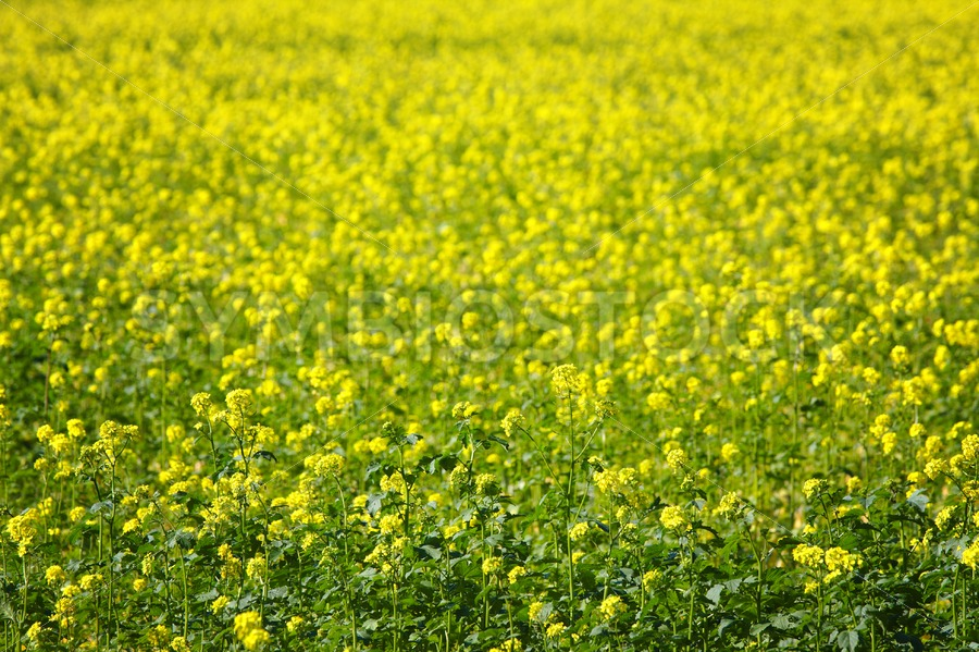 Yellow Mustard Seed Field - Jan Brons Stock Images