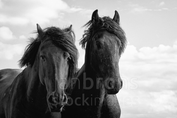 Stock Image: Two Frisian Stallions.